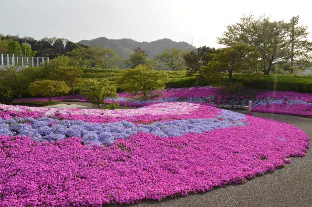 丸山公園芝桜