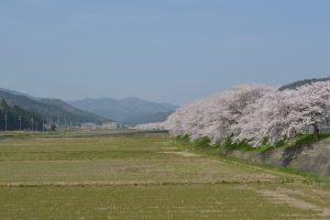 佐分利街道桜並木